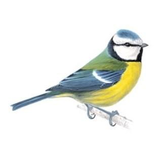Chọn một hình mẫu chim sẻ ngô (bluetit) mà bạn yêu thích để bạn đồ hình hoặc để làm gợi ý cho bạn tự thiết kế hình mẫu.