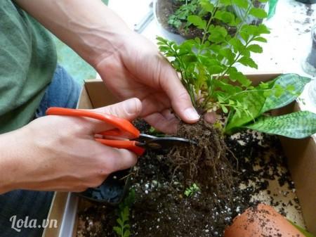Bước tiếp theo là trồng cây, sau khi lấy cây ra khỏi chậu cũ, rũ bớt đất cũ & cắt bớt rễ nếu cần thiết.