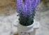 Lavender chậu 2 quai