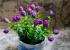 Hoa hồng tím - chậu xanh nơ